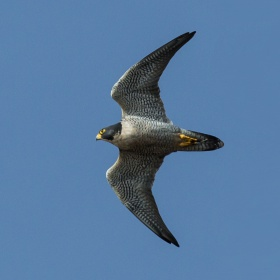 Falco peregrinus -Morro Rock, Morro Bay, California, USA -flying-8.jpg
