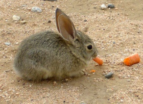 Eight week old Cottontail.jpg