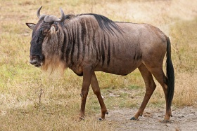 Blue Wildebeest, Ngorongoro.jpg
